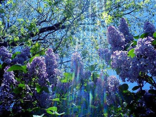 Lilas-en-fleurs-AY