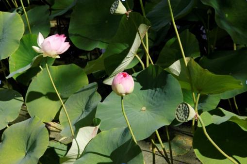 lotusJP_2