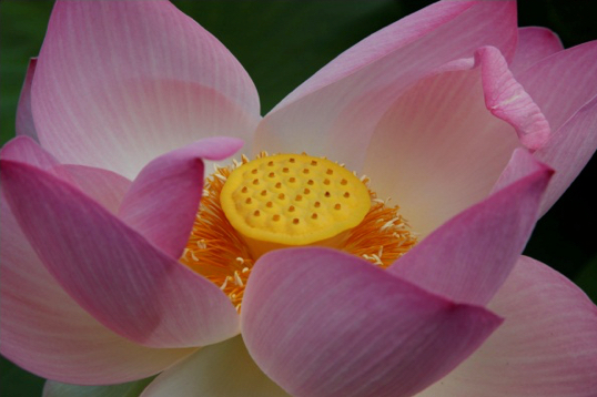 lotusJP