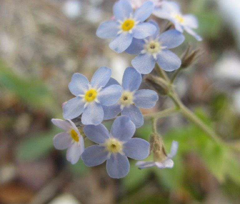 Myosotis article marysia